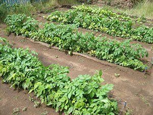 Грядки картоплі по Мітлайдера