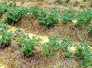 мульчування картоплі