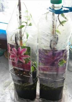 Накрила їх пластиковими пляшками і зберігала на вулиці в транспортувальних горщиках