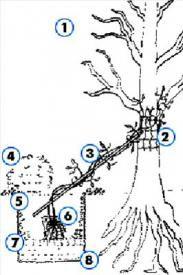 Посадка клематиса близько дерева: 1 - дерево (дуже красиво виглядатиме клематис на старій яблуні) - 2 - капронова сітка 3 - стебло клематиса на додатковій опорі-палке- 4 - почвопокривні рослини, посаджені поруч з клематисом і оберігають його коріння від перегрева- 5 - земляна смесь- 6 - корені кламатіса- 7 - дренаж- 8 - посадкова яма для клематіса;