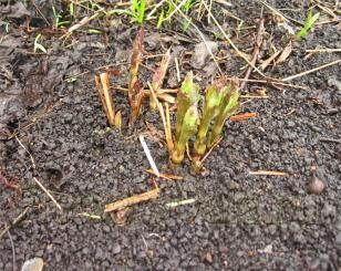 А ось трав`янистий клематис, стебла якого потрібно обрізати на зиму, абсолютно безпроблемний. Головне - відтік води від коренів. Я пересадила його восени на інше місце, вже сходить.