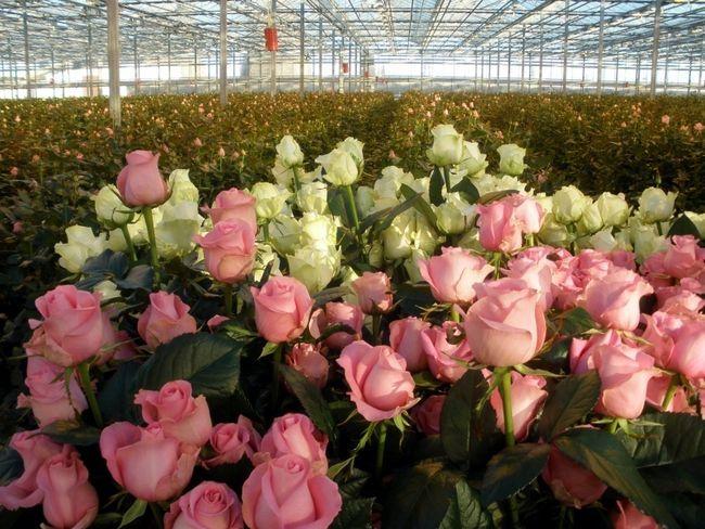 Троянди в теплиці
