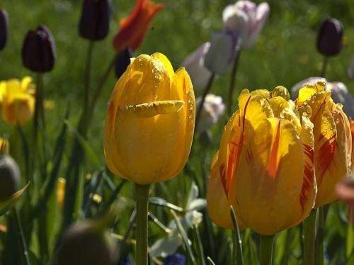 Посадка тюльпанів восени