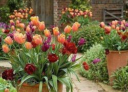 Посадка тюльпанів різних сортів восени в грунт