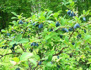 Корисні плоди жимолості їстівної