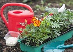 Посів однорічних квітів на розсаду: що садити і коли?