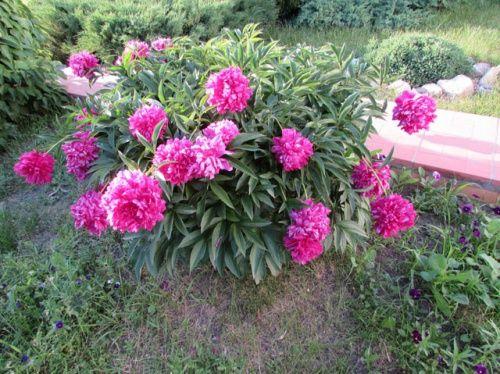Правила посадки, догляду та поділу трав`янистих півоній