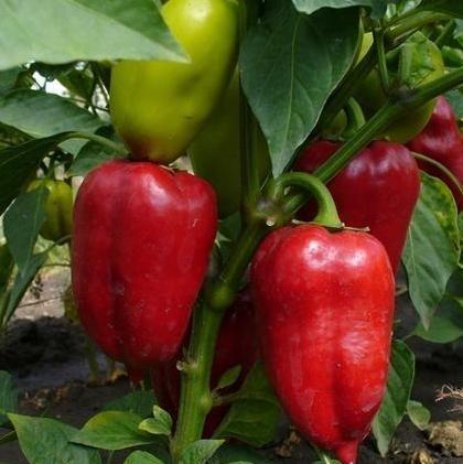 Правильна підготовка насіння перцю до посіву