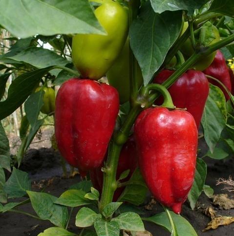 Правильне вирощування розсади солодкого перцю