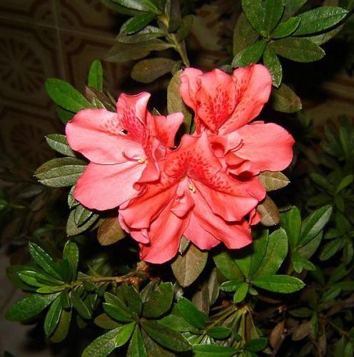 Правильний догляд за азалій після цвітіння