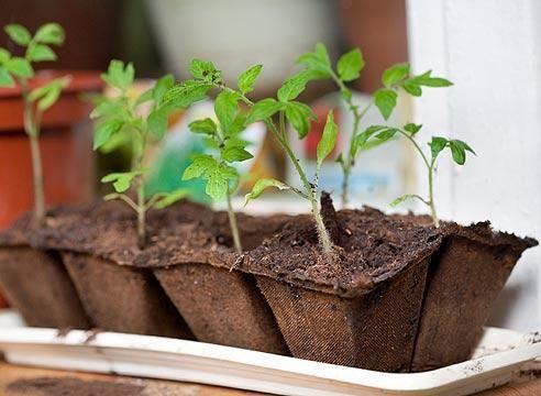 Правильний догляд за розсадою томатів