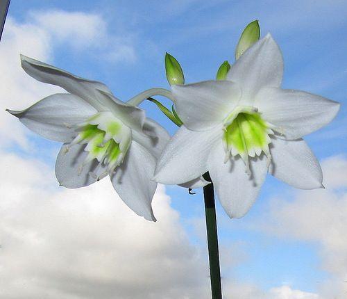 Прекрасні квіти еухаріса