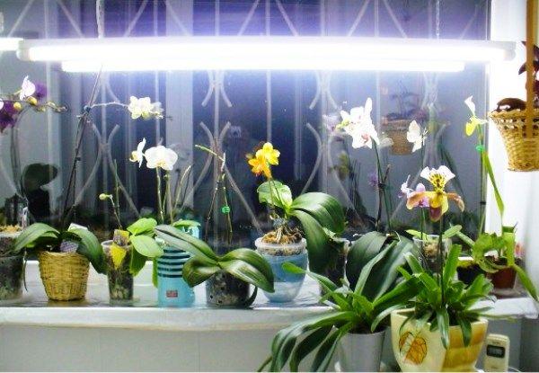 світловий день для орхідеї підсвічування