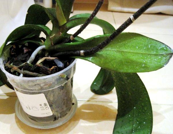 обприскування орхідей