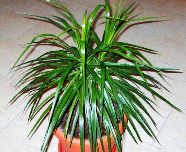 Здорова рослина драцени маргината