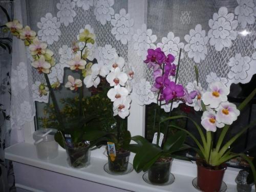 Примхливий догляд за квітами орхідеї