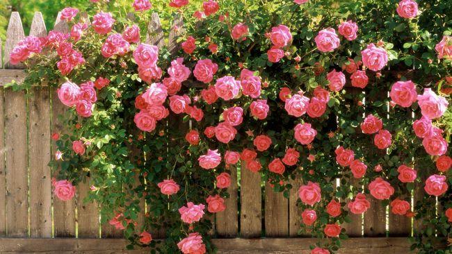 Прикраса забору трояндами