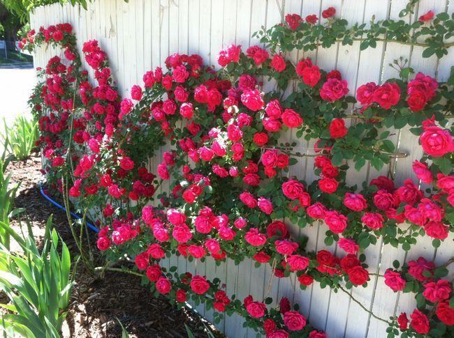 Троянди на паркані