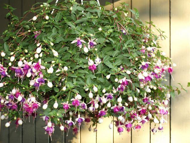 Ампельні рослини для прикраси фасадів