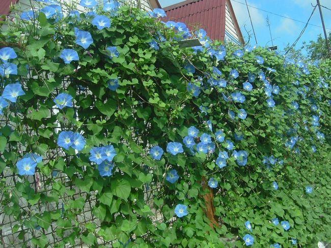 Ліана - популярний квітка серед плетистих рослин