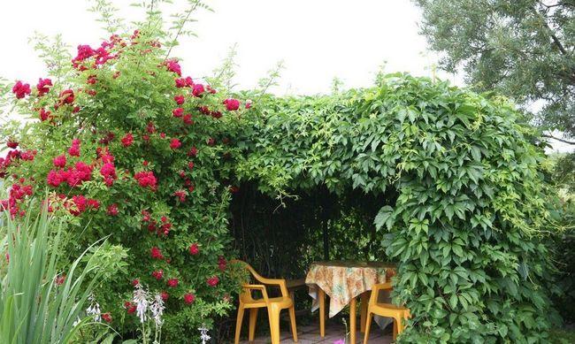 Прикраса альтанки листям винограду
