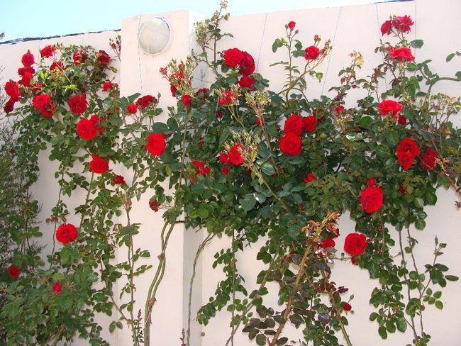 Плетиста троянда на фото