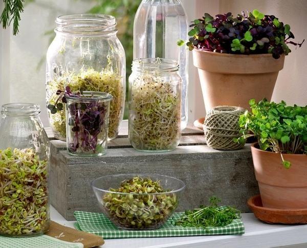 З насіння раптом з`являються білі стеблинки, потім вони стають зеленими. і все це - у вас на підвіконні.