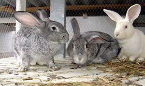 Профілактика, симптоми і лікування хвороб кроликів