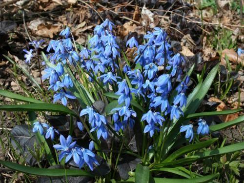 Проліска сибірська: опис, різновиди та умови вирощування в саду