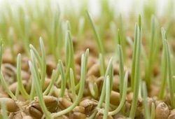 Проростки з пшеничних зерен: користь і декор
