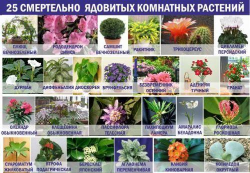 Перегляньте отруйні кімнатні рослини на фото, щоб знати не тільки їх назву
