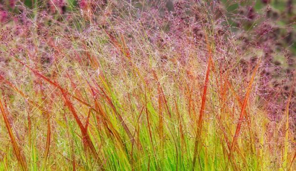 Просо прутовидне: осінні фарби в квітнику