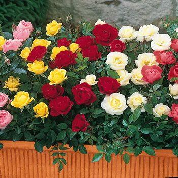 Просте і продуктивне розмноження троянд живцюванням