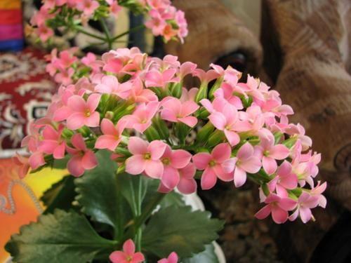 Простий догляд за кімнатною рослиною коланхое