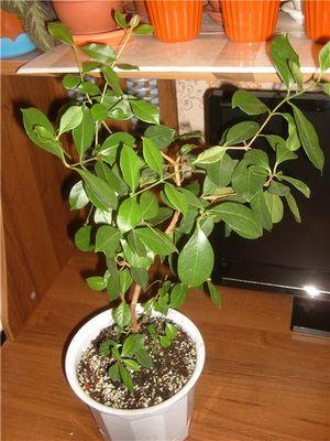 Псідіум - лікарська рослина