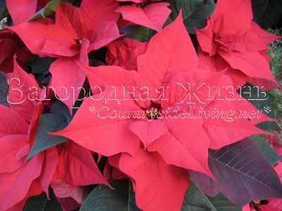Пуансеттия (пуансетія) - різдвяна зірка