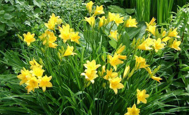 Лилейники, як правильно посадити і доглядати, щоб домогтися рясного цвітіння