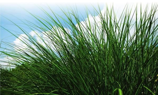Нагодований газон радує око густотою і соковитим кольором.