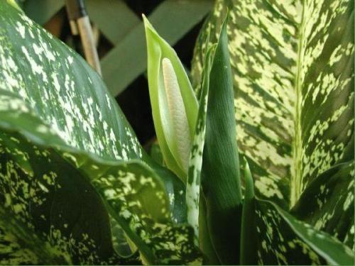 Рослина диффенбахія - корисна красуня