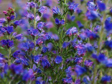 Рослина синяк - один з кращих медоносів