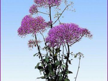 Рослина трахеліум в будинку