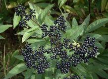 Рослини дикої флори, що використовуються в народній медицині при лікуванні простудних захворювань