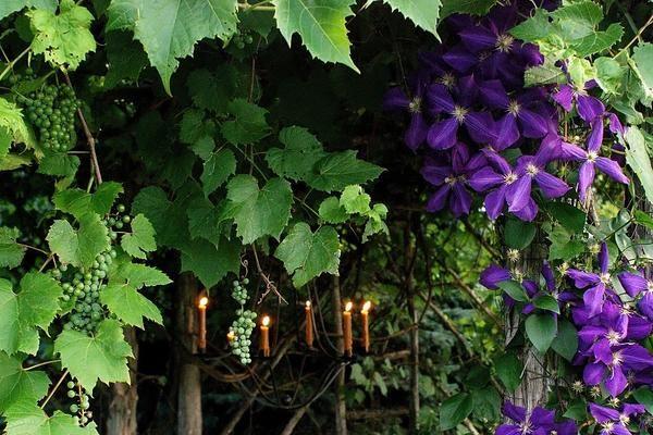 Рослини для вертикального озеленення що вибрати?