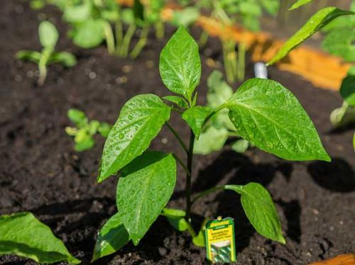 Рослини інсектициди як метод боротьби з шкідниками