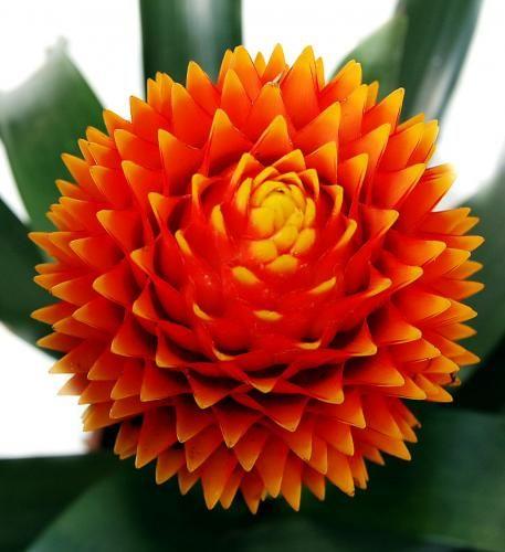Розмноження квітки гусманія в домашніх умовах