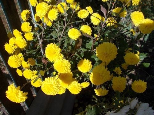 Розмноження хризантеми живцями
