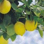 Розмноження лимона