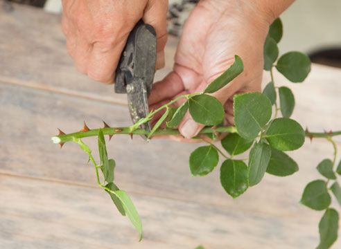 Живцювання троянд, нарізаємо живці з нижньої частини пагона