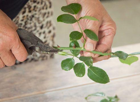 Живцювання троянд, обрізка листя наполовину, щоб знизити площу випаровування