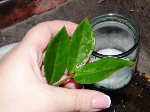 Розмноження заміокулькаса листовими живцями